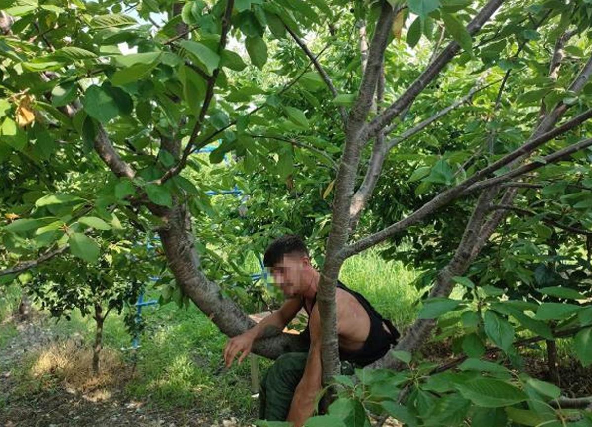 Firari hükümlü kiraz ağacında yakalandı
