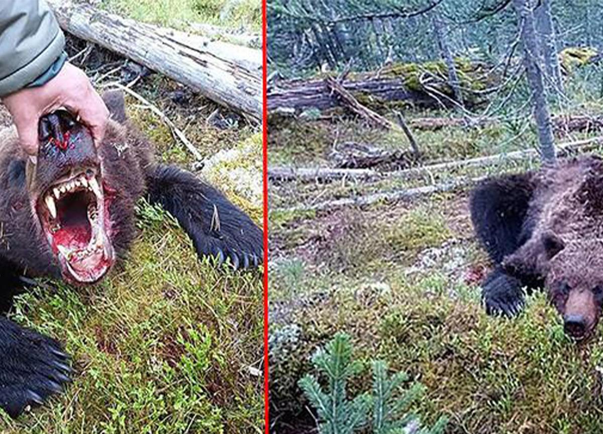Dehşet anlar! Ulusal parktaki ayı, bir genci yedi!