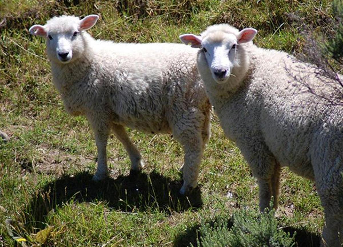 Yeni Zelanda'da akılalmaz olay... 226 koyuna ötenazi yapıldı!