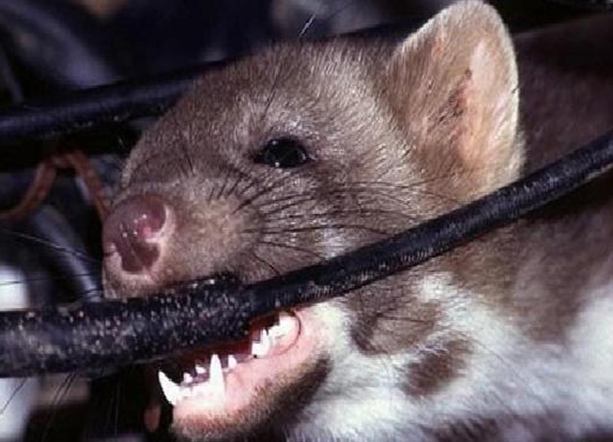 Tesla sürücülerinin başı farelerle dertte! Arabaları yiyorlar...