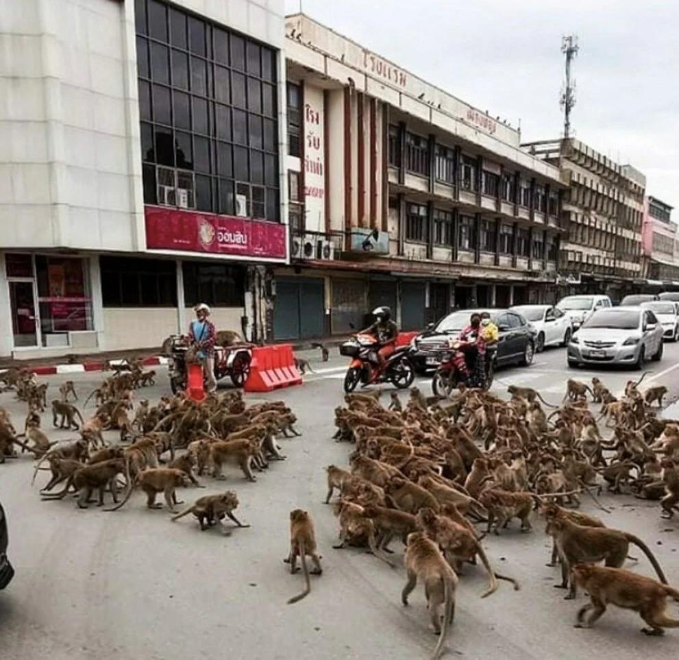 Tayland'da maymun çeteleri şehir merkezini ele geçirdi: Kavga edip binaları işgal ediyorlar