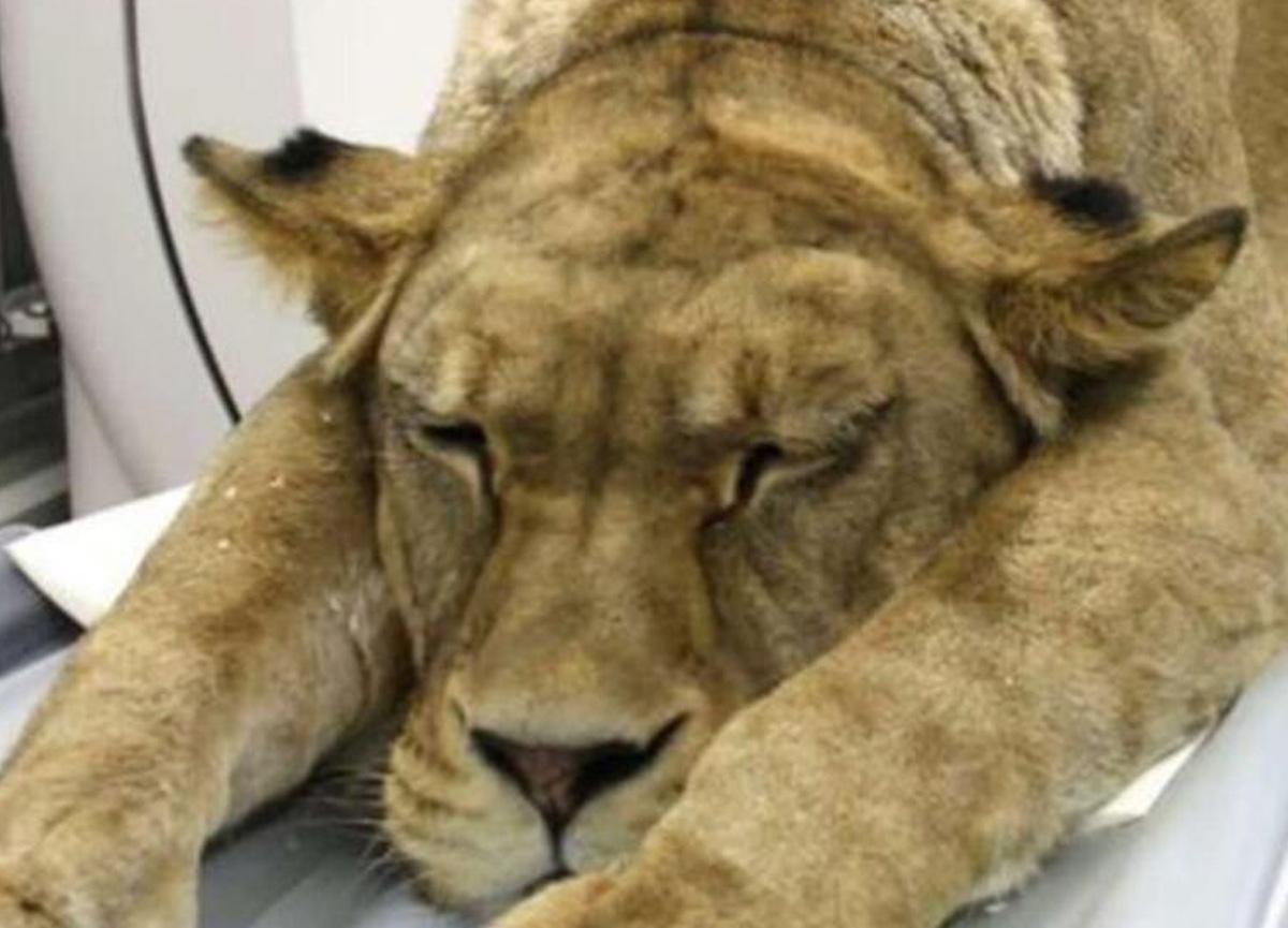 İzmir'deki hastanede aslan şoku: Görenler hayrete düştü