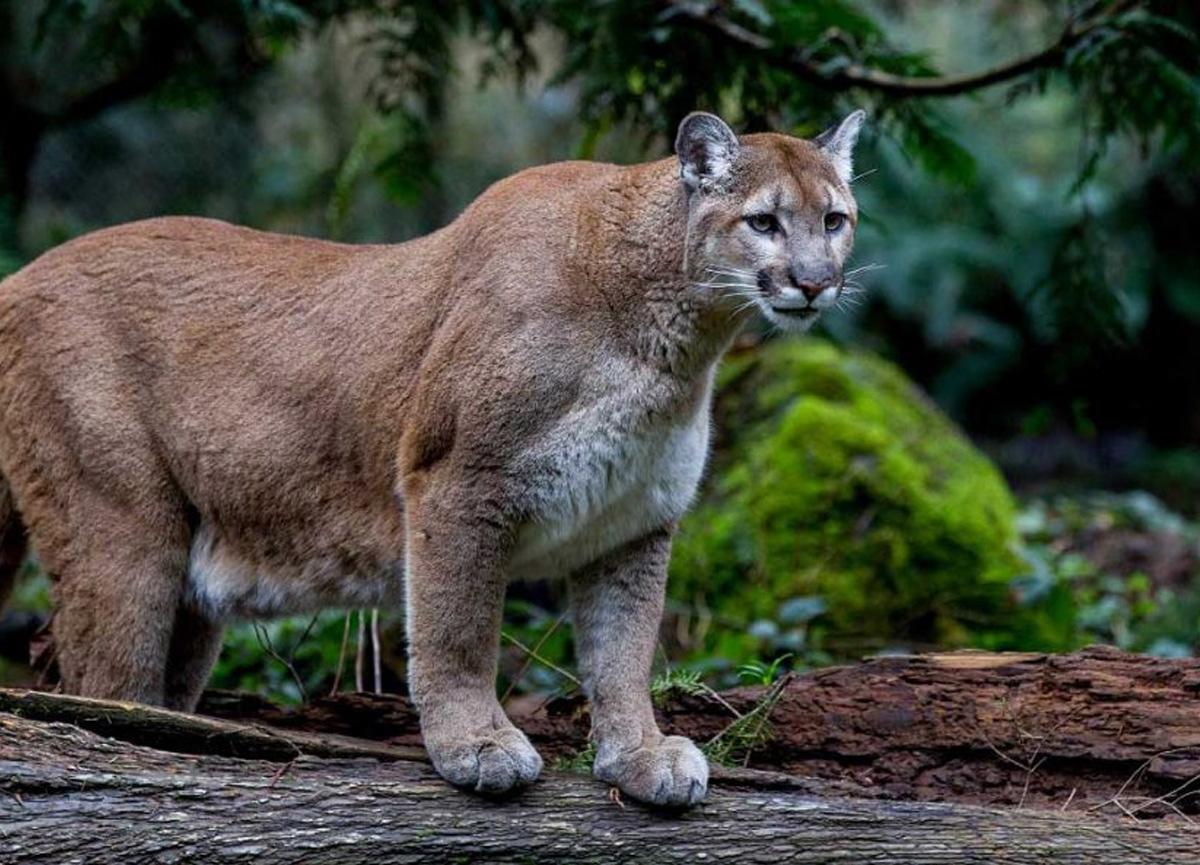 Kan donduran olay! Çocuğunu dağ aslanından tekme ve yumrukla kurtardı