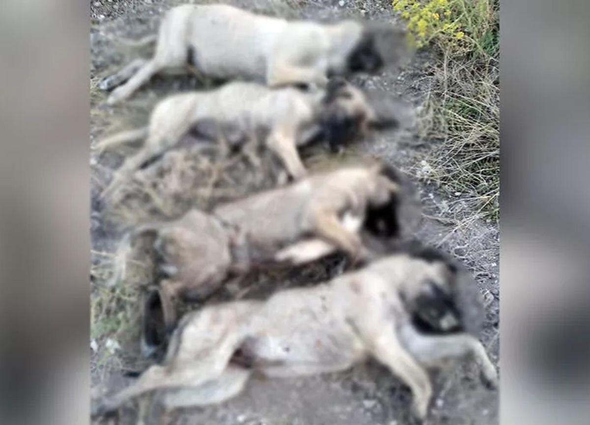 Yürek parçalayan olay! Ankara'da köpek katliamı...